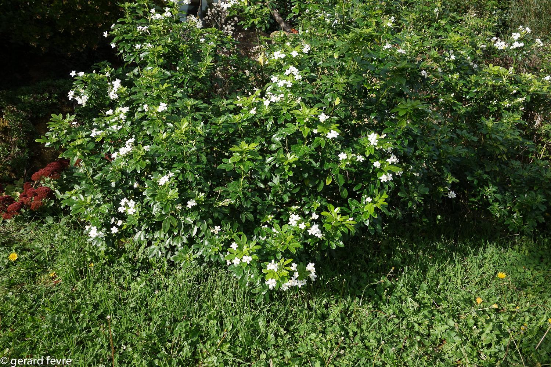 le choisya ternata un parfum d 39 oranger dans son jardin plantes d 39 exception. Black Bedroom Furniture Sets. Home Design Ideas